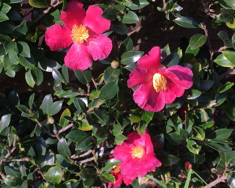 Red flowers with bright yellow stamen of Camellia sasanqua