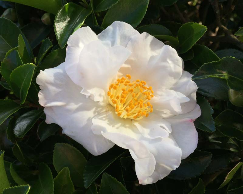 The white flowers with bright yellow stamen of Camellia sasanqua