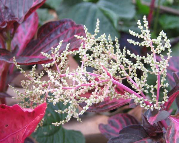 Iresine herbstii flowers