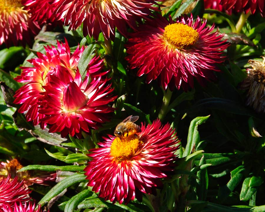 Bracteantha syn Xerochrysum Mohave Red  this cultivar has red flowers deep yellow centres