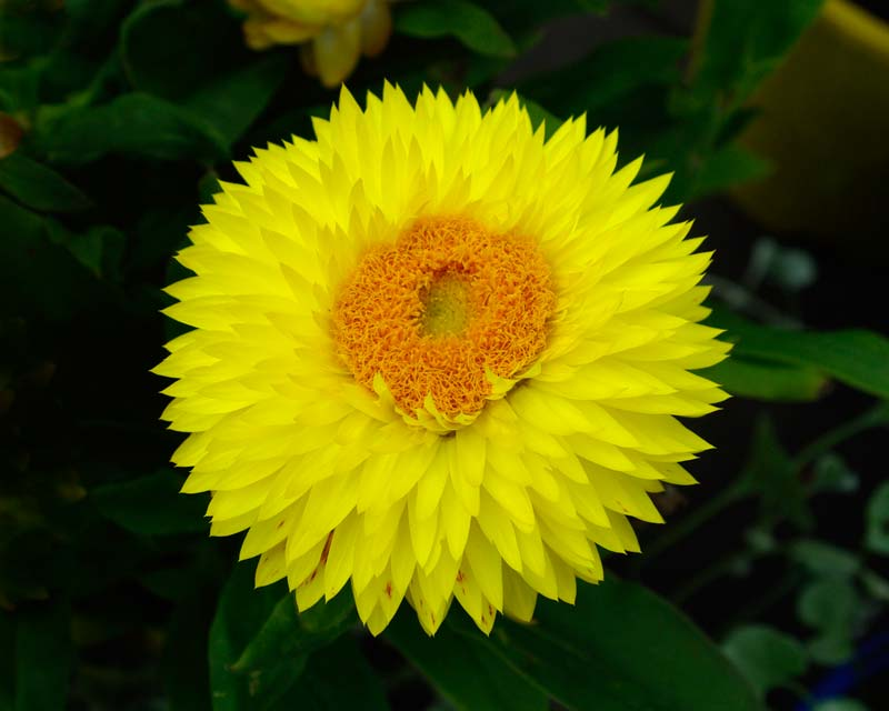 Xerochrysum bracteatum, previously Bracteantha bracteata - this is the Helica hybrid