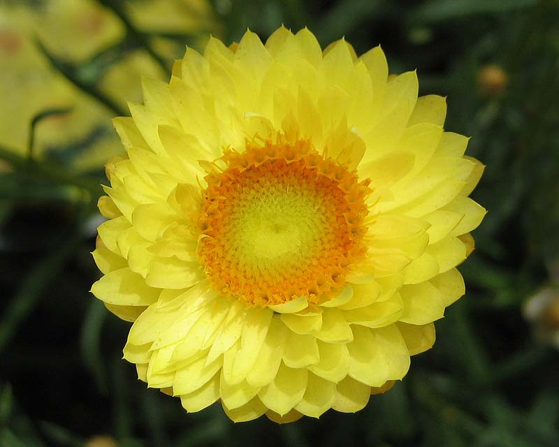 Xerochrysum bracteatum. This is Lemon Prince