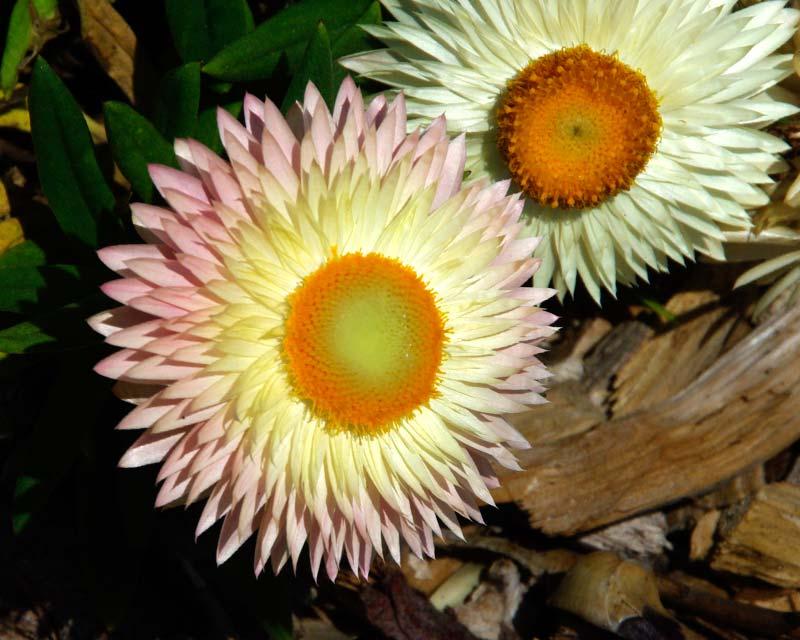 Xerochrysum Kimberley Sunset