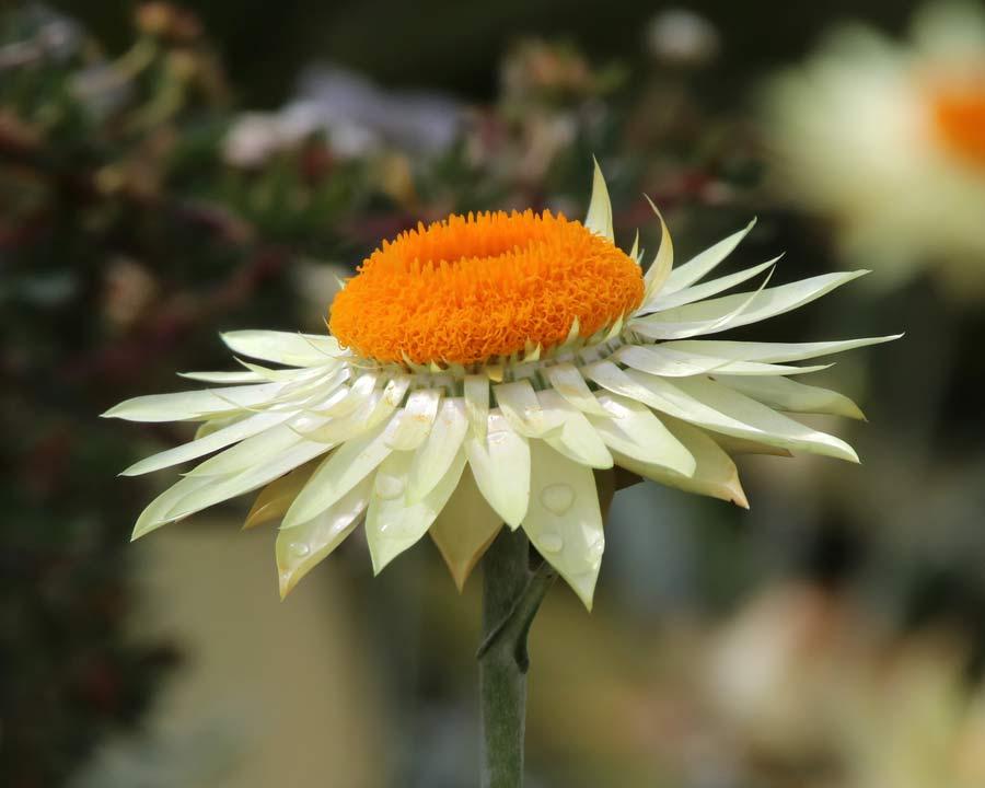 Xerochrysum bracteatum syn. Bracteantha bracteatum 'Coco' -  Cream flowers