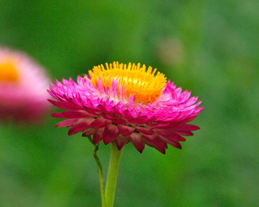 Xerochrysum bracteatum syn. Bracteantha bracteatum Monstrosum Mixed Deep Pink Flowers