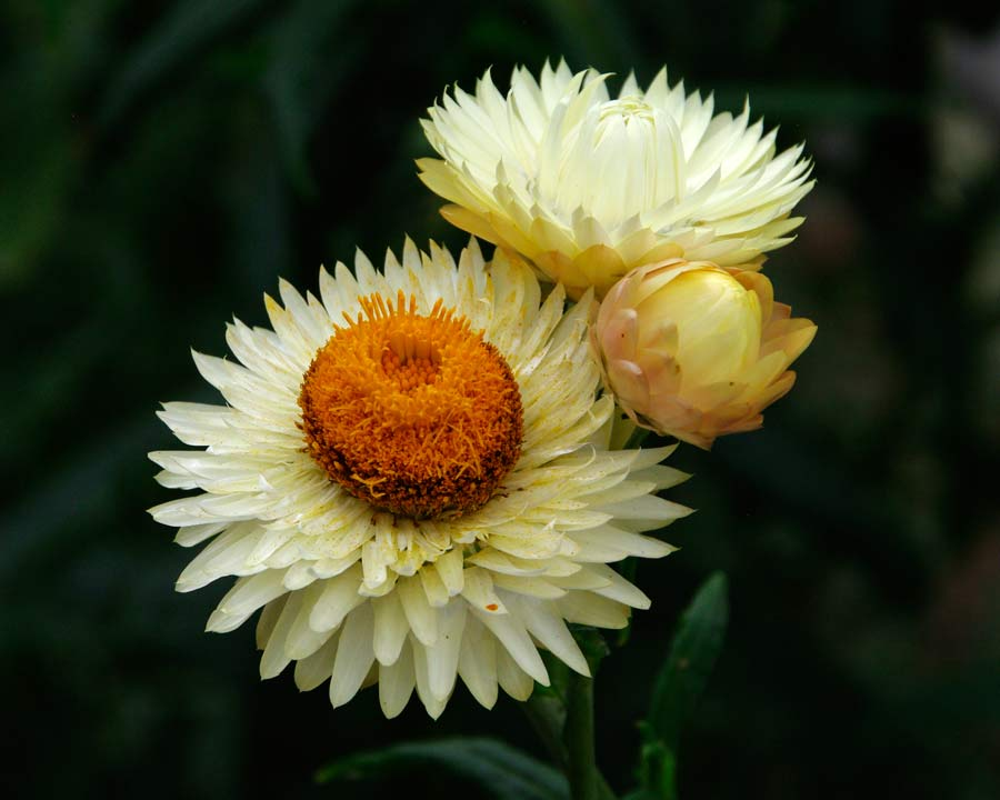 Xerochrysum bracteatum syn. Bracteantha bracteatum Monstrosum Mixed - White/Cream flowers
