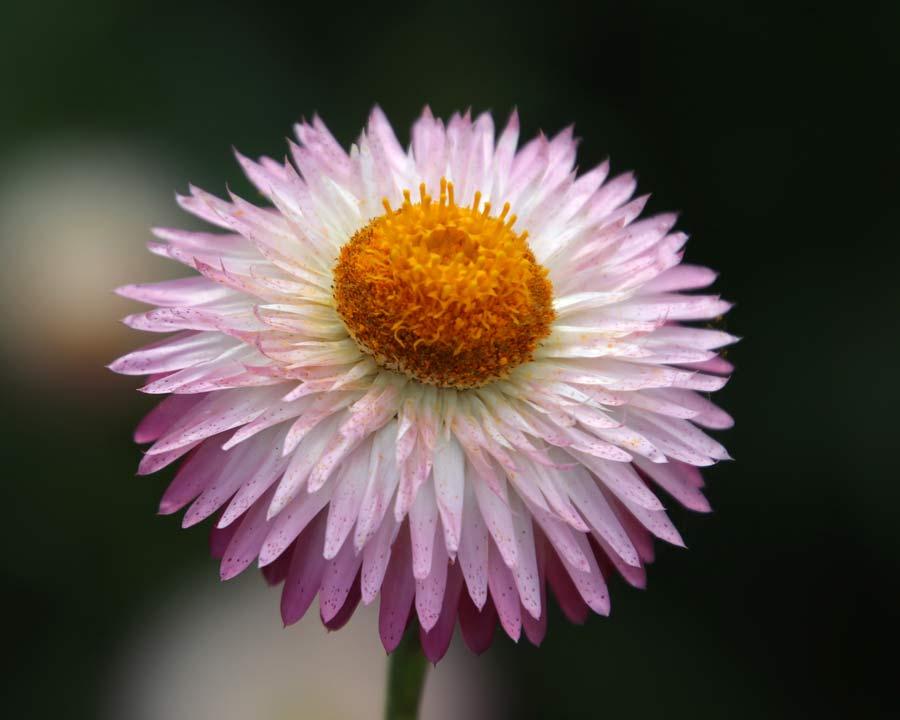Xerochrysum bracteatum syn. Bracteantha bracteatum Monstrosum Mixed - Pale Pink flowers