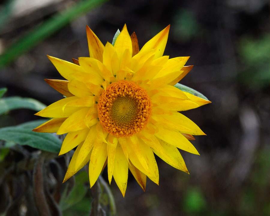 Xerochrysum bracteatum syn. Bracteantha bracteatum