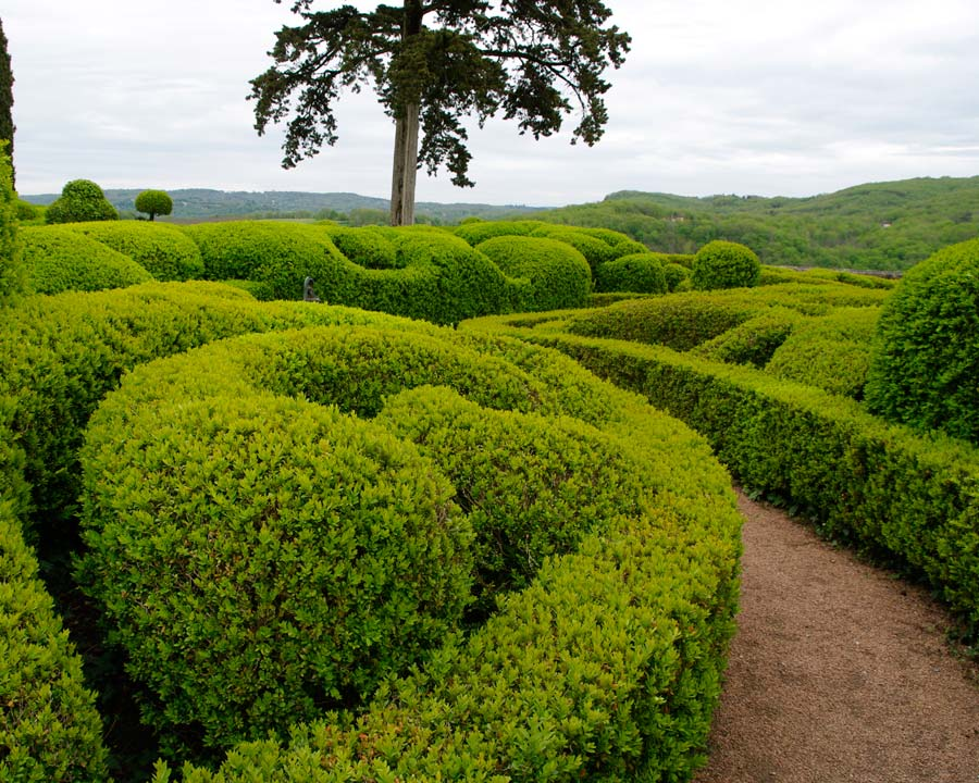 Buxus microphylla 'Japonica' - dense low hedges and topiary