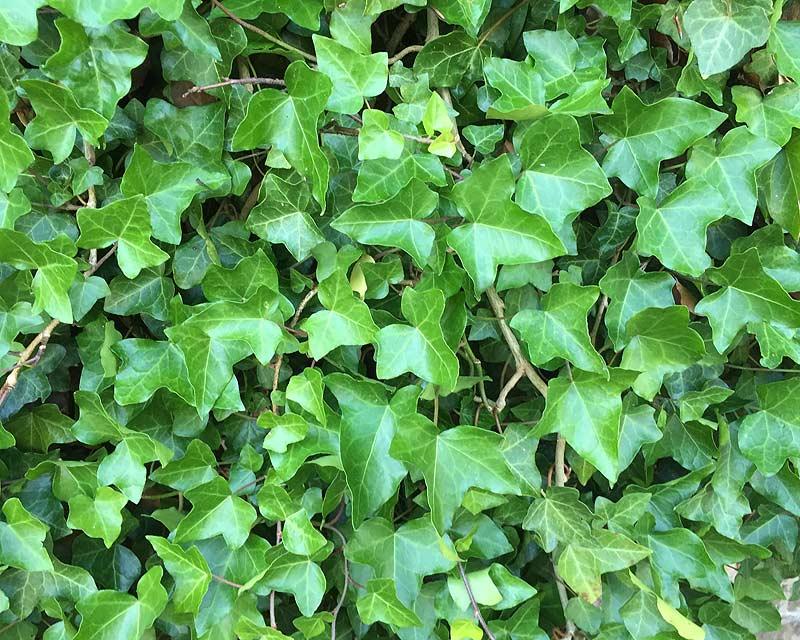 Gardensonline Hedera Helix