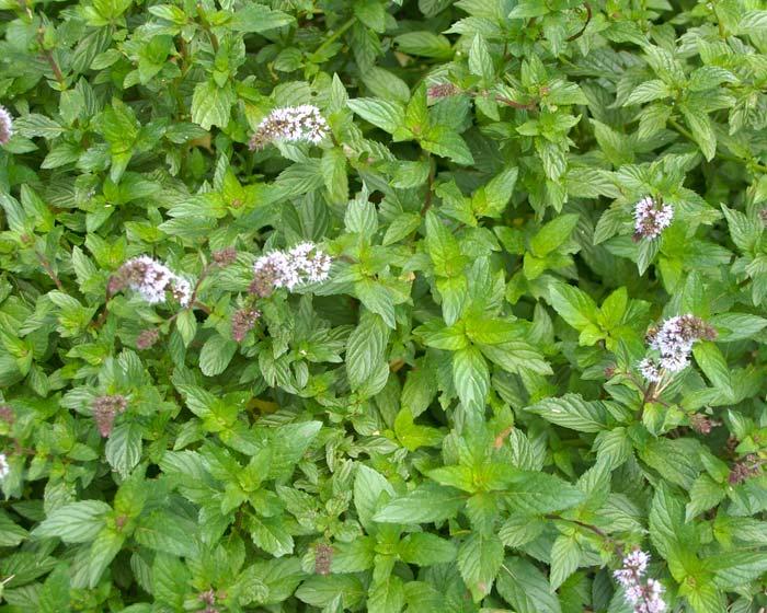 Gardensonline Mentha Pulegium