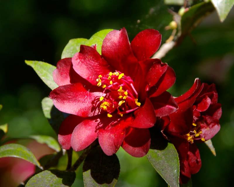 Camellia japonica Nightrider