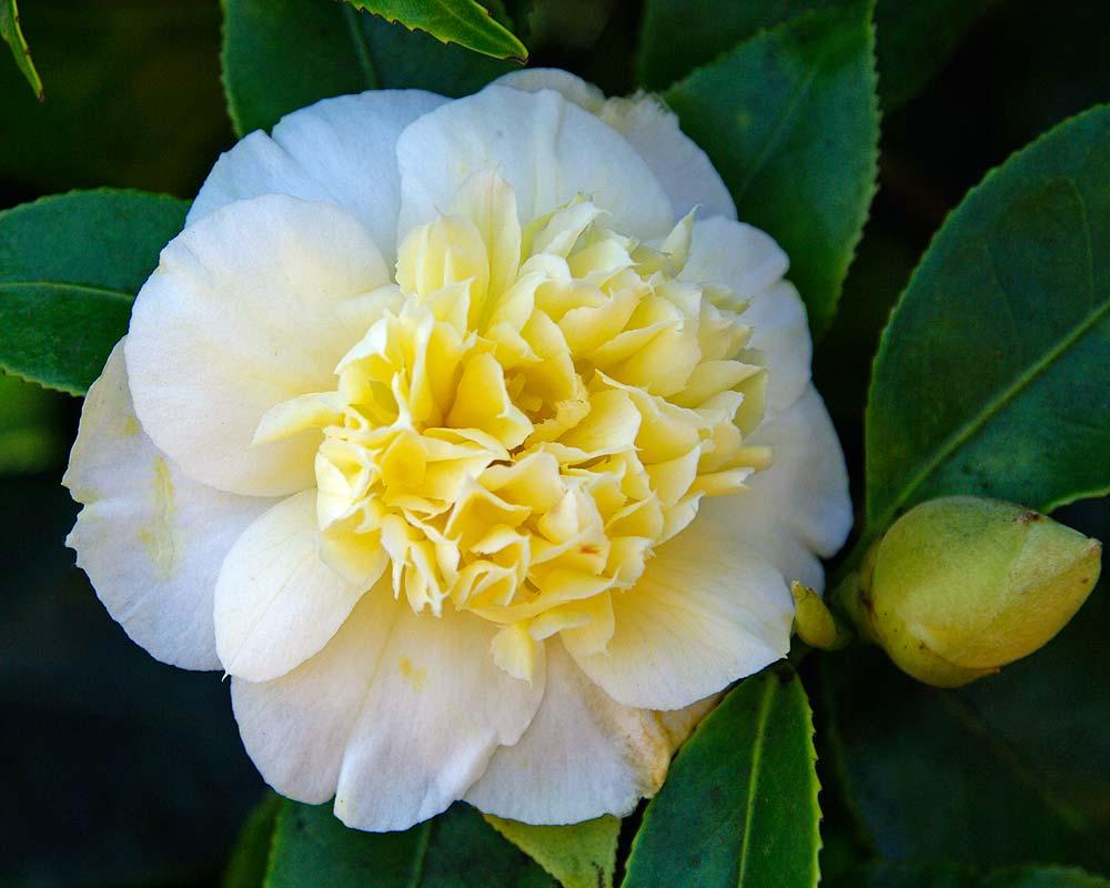 Camellia japonica 'Brushfields Yellow'