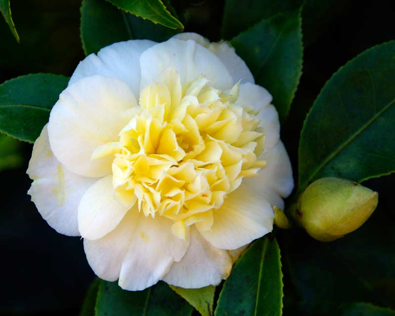 Camellia Japonica Brushfields Yellow