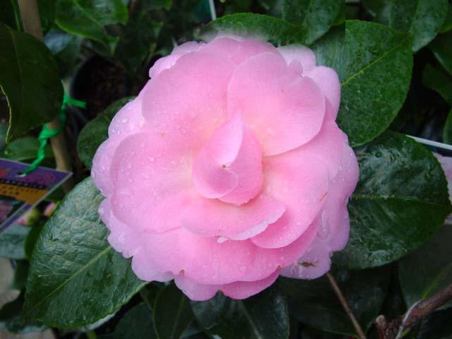 Camellia japonica E. G. Waterhouse
