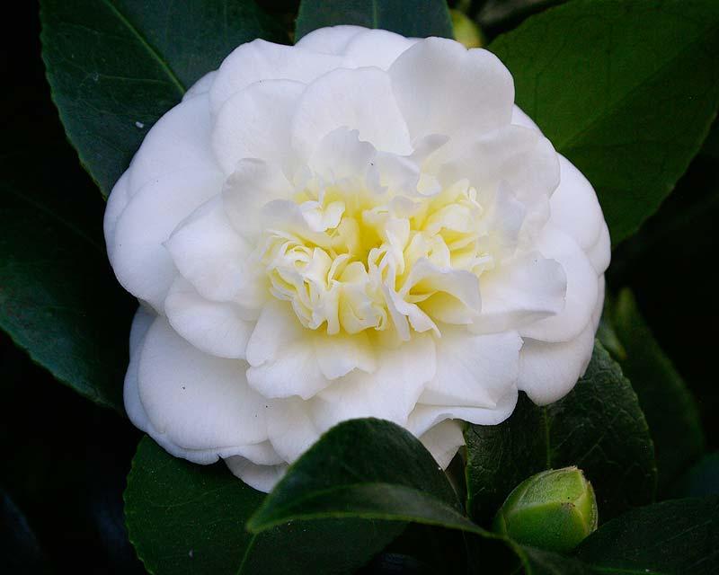 Camellia japonica 'Lemon Drop ' - miniature format double