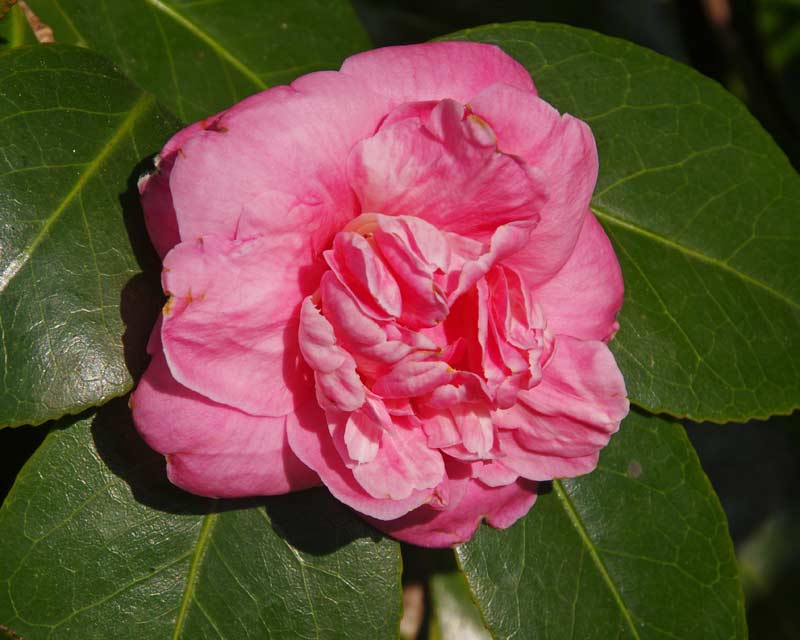 pink blooms of Camellia japonica 'Otahuhu Beauty'