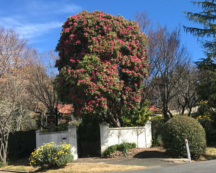 Camellia japonica - as a tree
