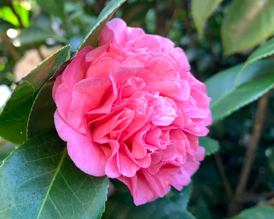 Camellia 'Aspasia Macarthur' - flower colours vary on same plant from white with pink flecks to deep pink.