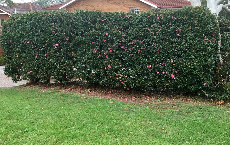 Camellia japonica hedge