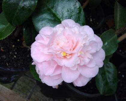 Camellia Japonica Cultivars Gardensonline