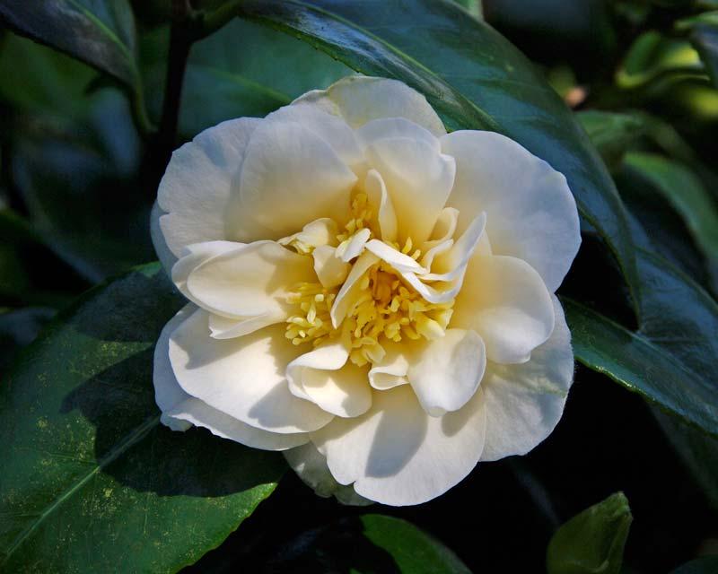 Camellia japonica Dr Burnside