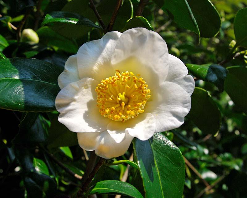 Camellia japonica Francis Manger