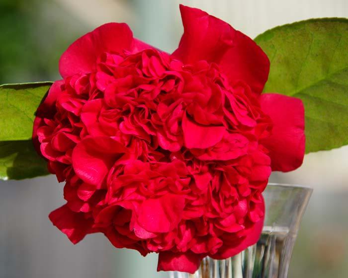 Camellia japonica Grand Marshall