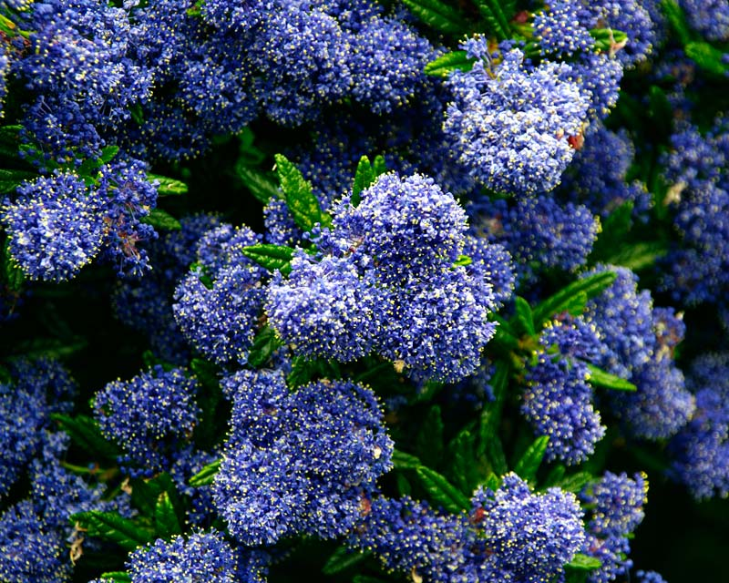 gardensonline ceanothus x blue pacific. Black Bedroom Furniture Sets. Home Design Ideas