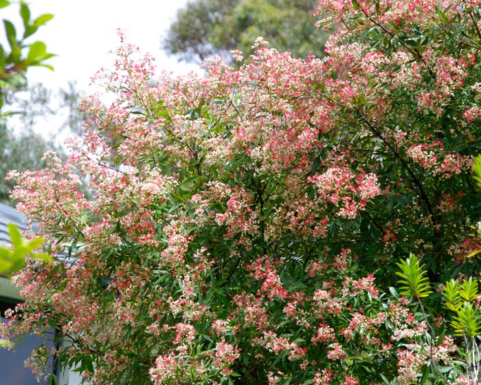 Ceratopetalum gummiferum.  NSW Xmas bush - Albery's Red
