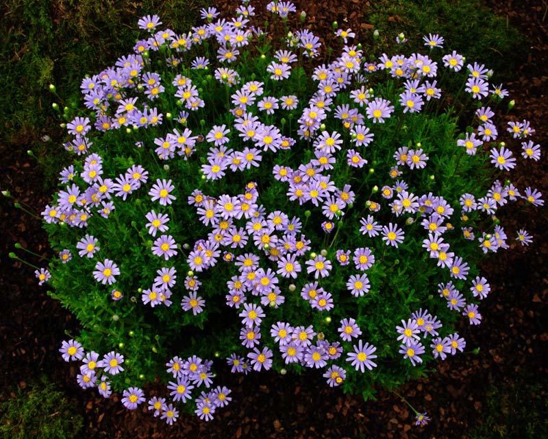 Gardensonline Felicia Amelloides
