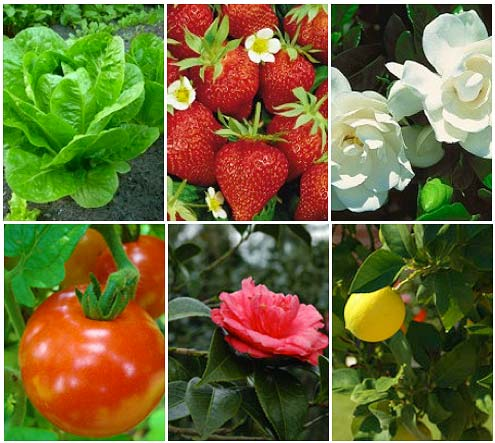Just a few of the key plants that are susceptible to insects that get caught on the glue trap