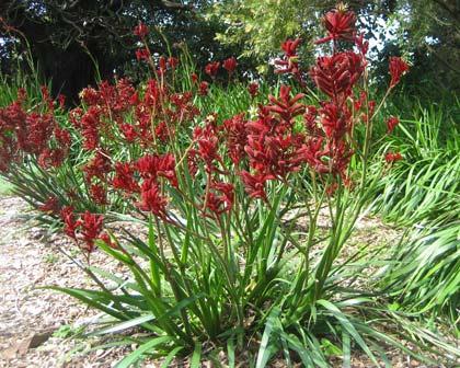 Kangaroo Paw Red
