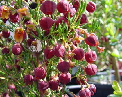 Brown Boronia - actually it is rather dark red which is a lot prettier than brown.