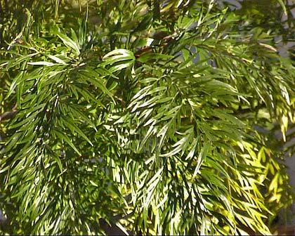 Grevillea robusta foliage