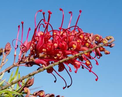 The spectacular Grevillea