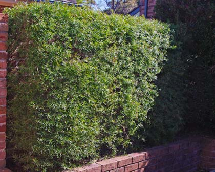 Makes a great hedge and the fragrance is amazing when you trim it.