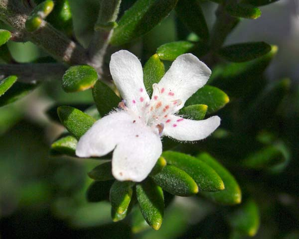 Westringia fruiticosa (Coastal Rosemary)
