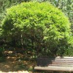 Acacia fimbriata  (Brisbane Golden Wattle) - tubestock