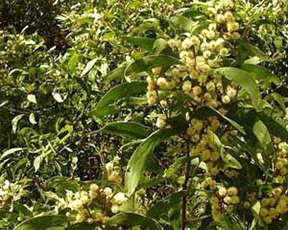 Blackwood blossom