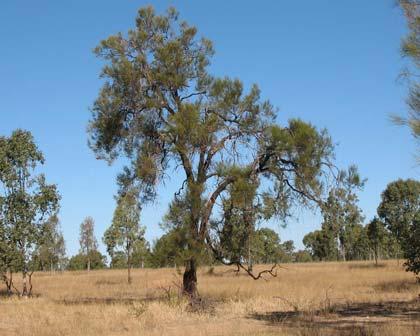 Allocasuarina luehmanni (Buloke or Bull Oak)