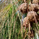 Allocasuarina torulosa (Rose She Oak) - tubestock