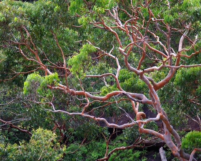 The spectacular Sydney Red Gum -  the bark becomes richer coloured when it is wet.