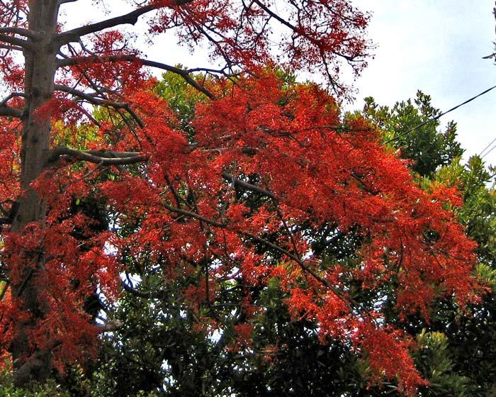 Brachychiton acerifolius ( Flame Tree)