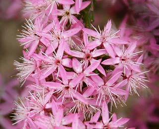 Calytrix tetragona Pink