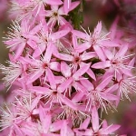 Calytrix tetragona (Common Fringe Myrtle)- pink - Tube stock