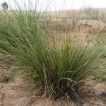 Carex appressa - Tube stock