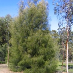 Casuarina cunninghamiana (River She Oak) - Tube stock