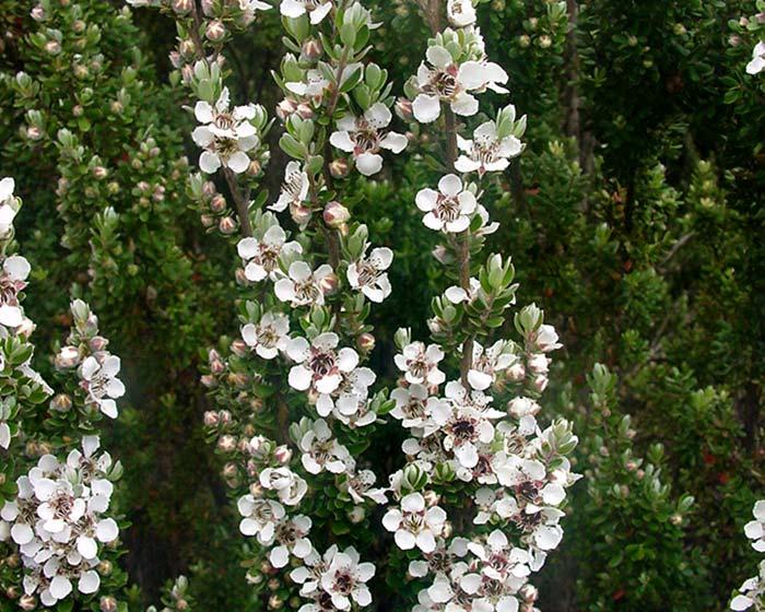 Chamaelaucium Uncinatum ( Geraldton Wax)