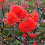 Corymbia ficifolia  Red flowers - tube stock